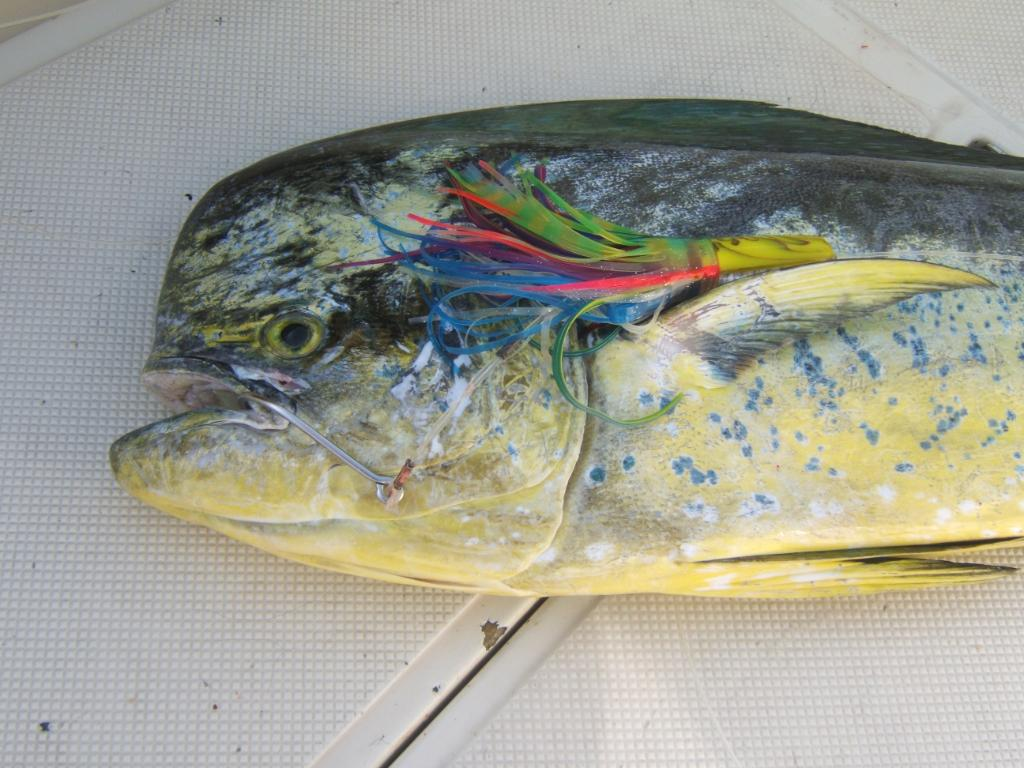 Mahi Mahi with lure