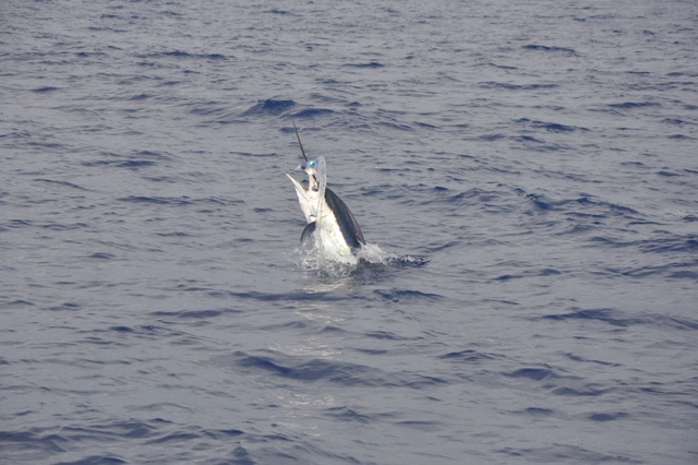 Pacific Blue marlin on the run