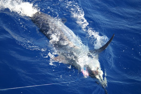 sh_446lb-blue-marlin_scull-family