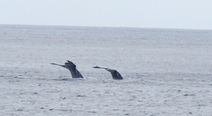 Two Whales off the Boat